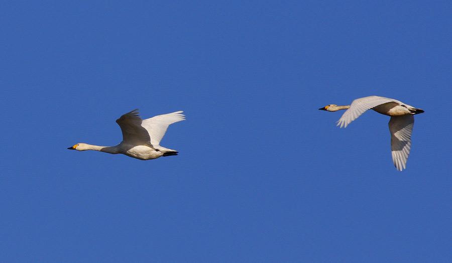 Bewick´s Swan (Cygnus columbianus)