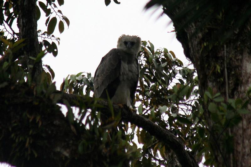 Harpie Eagle