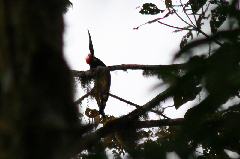 Plate-billed Mountain-Toucan