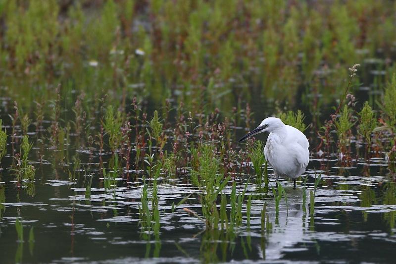 Little Egret (Kleine Zilverreiger)
