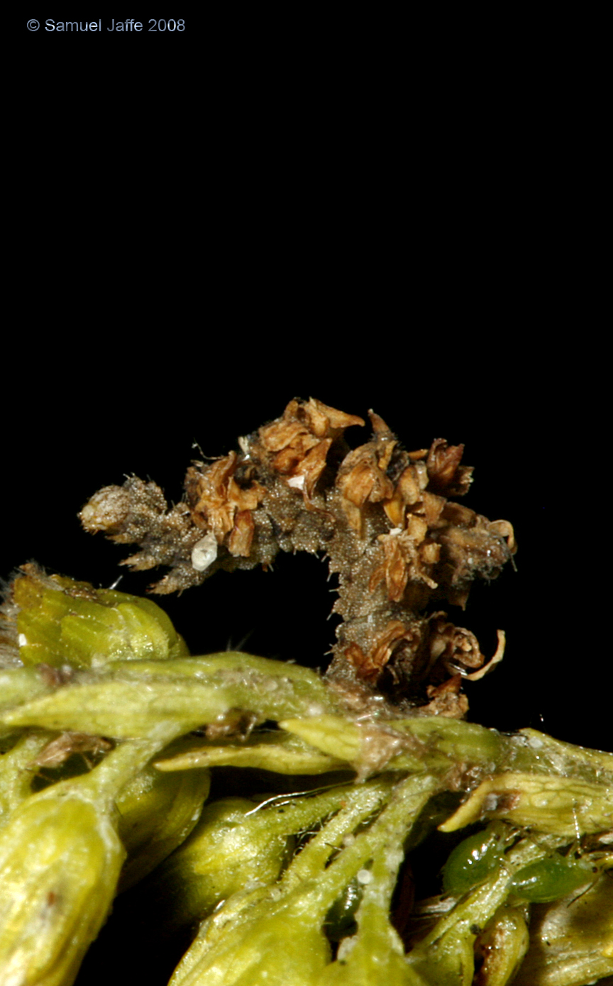 Synchlora aerata (Camouflaged Looper)