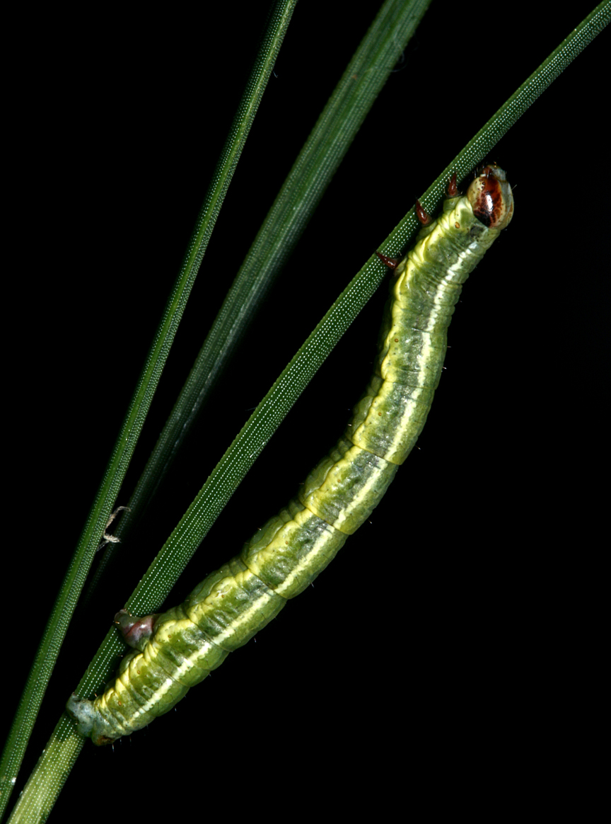 Macaria bicolorata? (Pitch-feeding Angle)