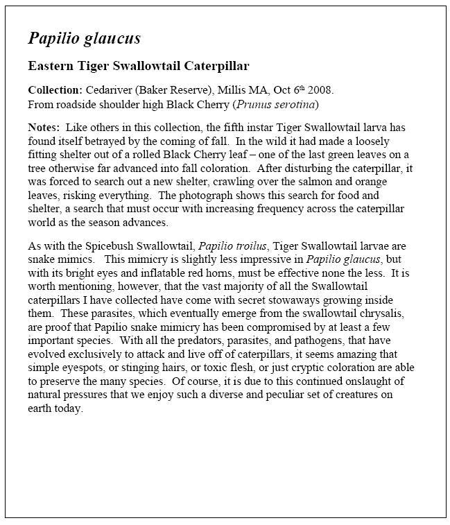 Tiger Swallowtail Essay