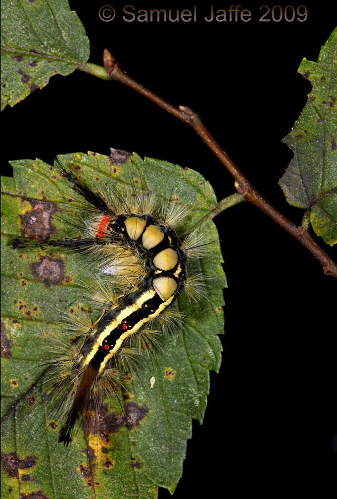 Orgyia leucostigma - White Marked Tussock