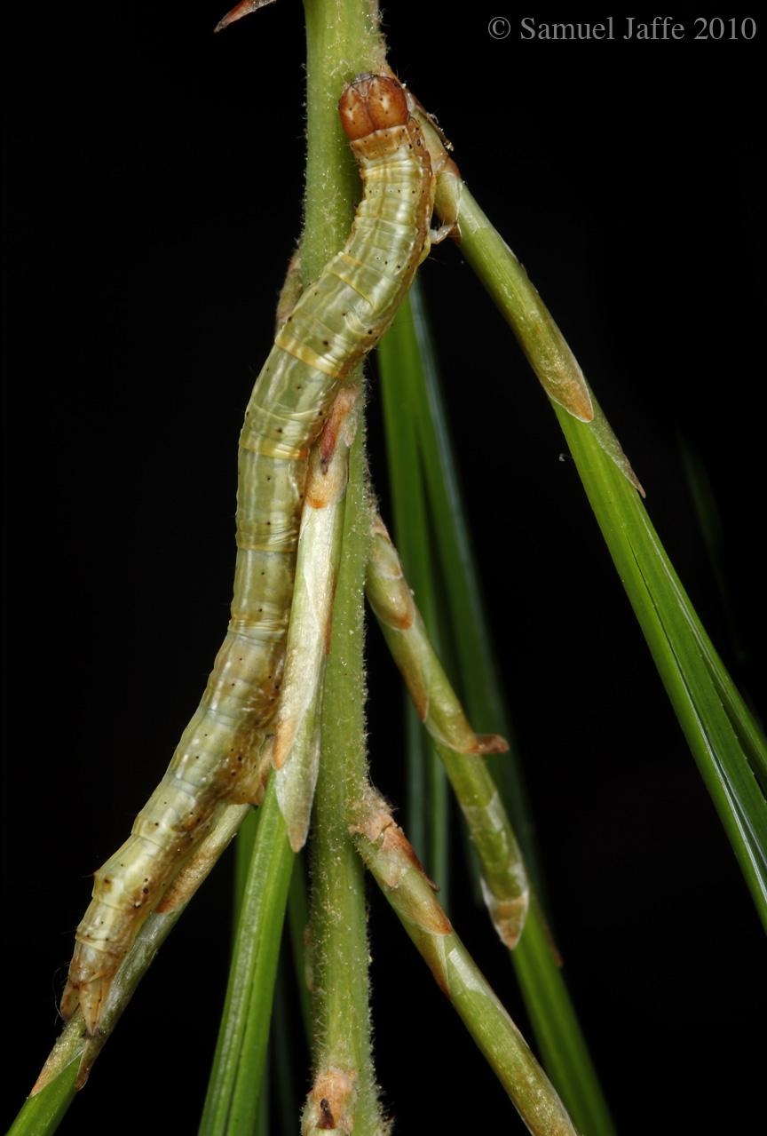 Zale sp. - White Pine Zale Species