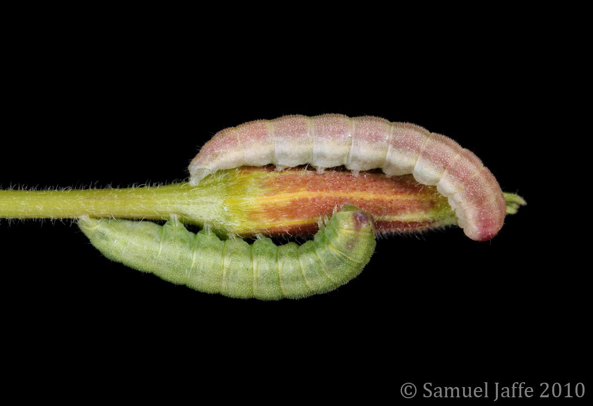 Schinia florida - Evening Primrose Moth