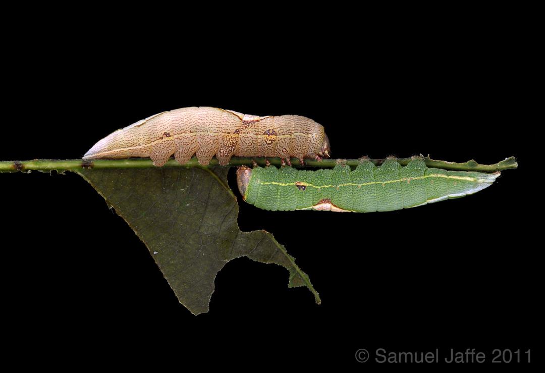 Heterocampa obliqua - Oblique Heterocampa