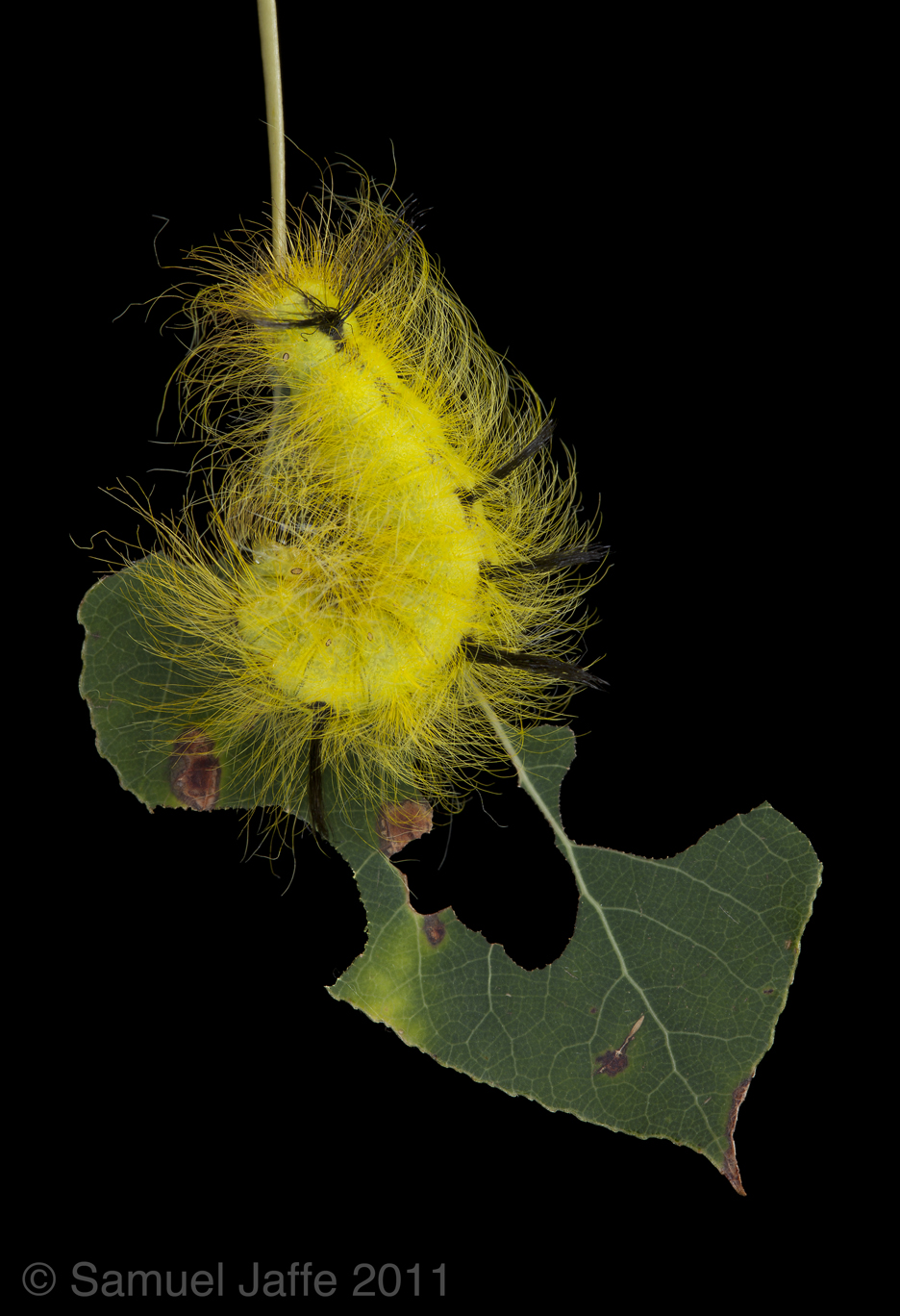 Acronicta lepusculina - Cottonwood Dagger