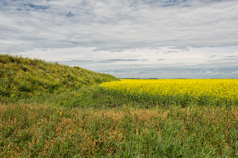 Canola Field Near Airdrie Alberta