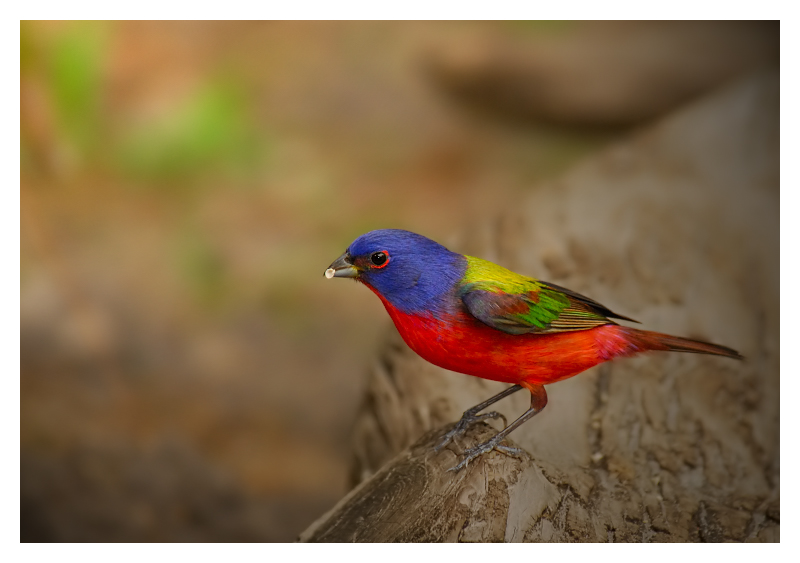 Painted Bunting (male) - Birds of Florida
