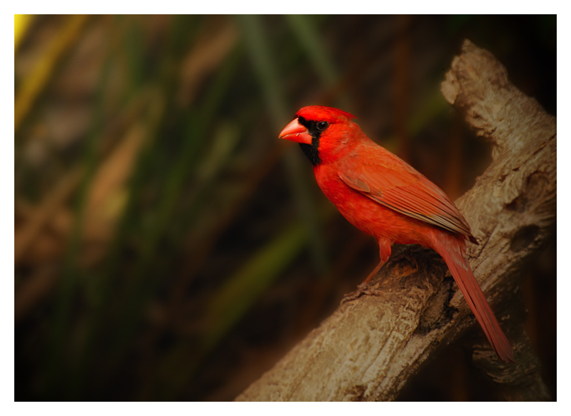 Northern Cardinal (Male) - Birds of Florida