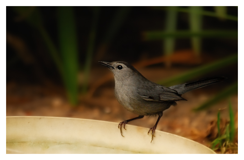 Gray Catbird - Birds of Florida