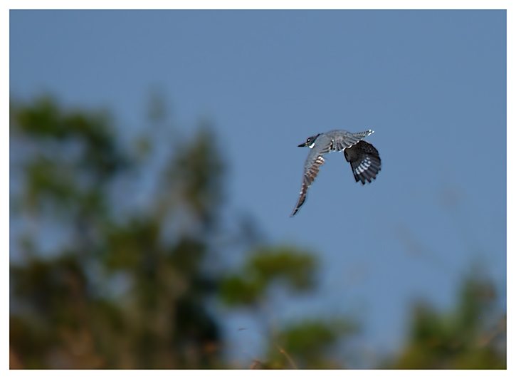 Belted Kingfisher - Birds of Florida