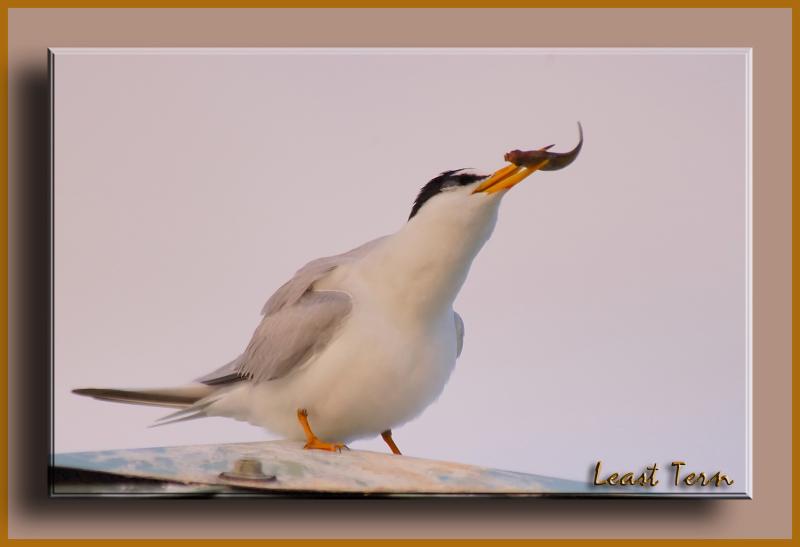 Least Tern - Birds of Florida