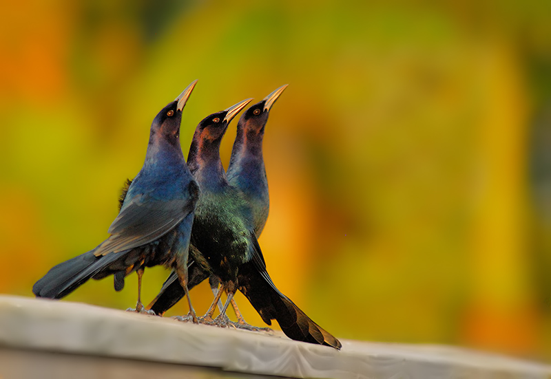 Boat-tailed Crackles - Birds of Florida