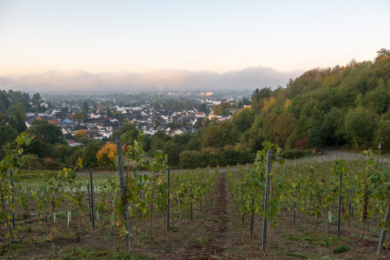 View from the vineyard towards the river Rhein