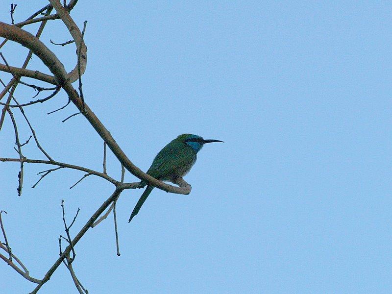 yam kingfisher3.JPG