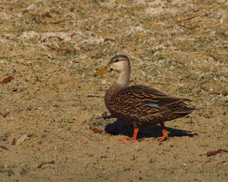 P3120919_duck_crop_nopp_800.jpg