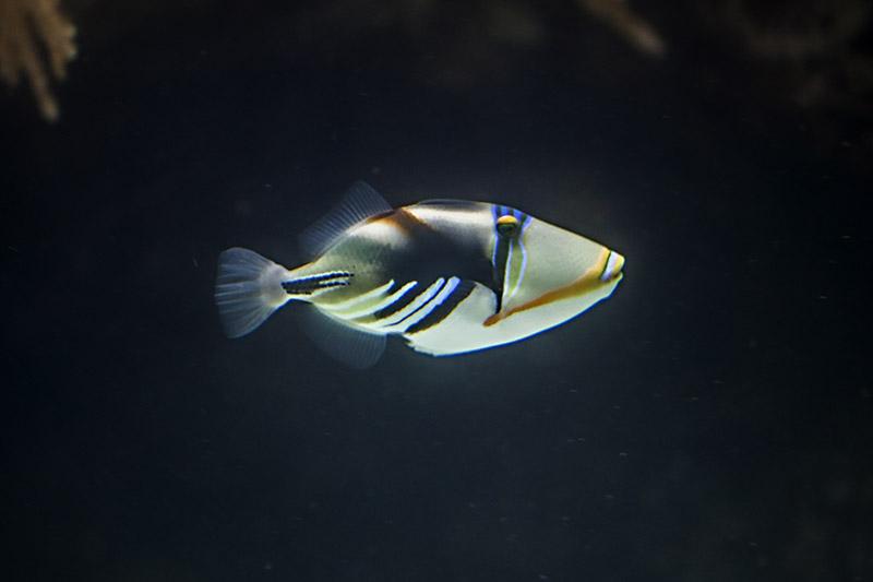 Picasso Triggerfish (Rhinecanthus Aculeatus)