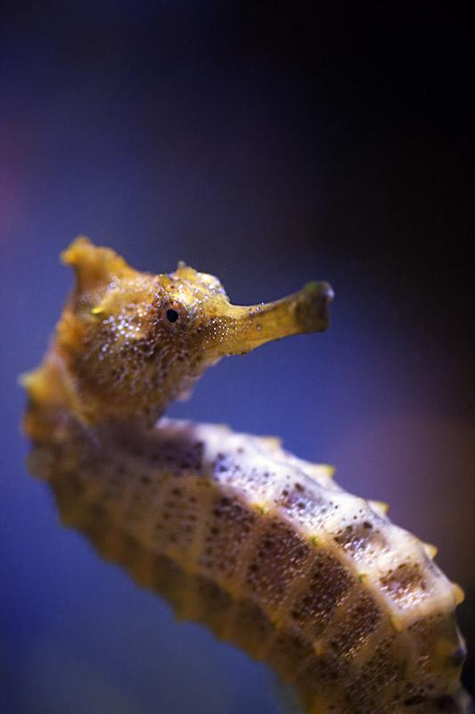 Pacific Sea Horse (Hippocampus Ingens)