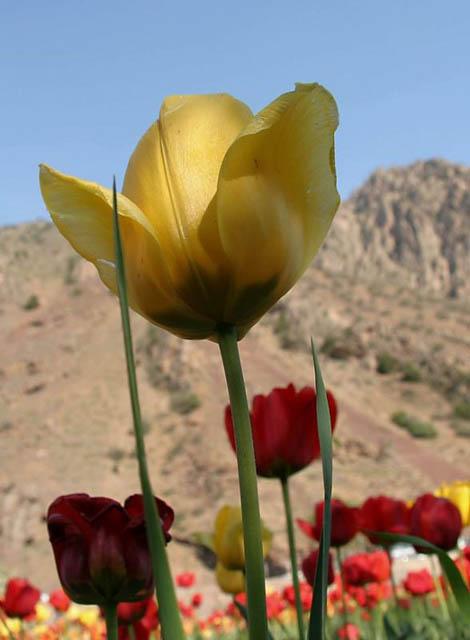 Tulip & mountain