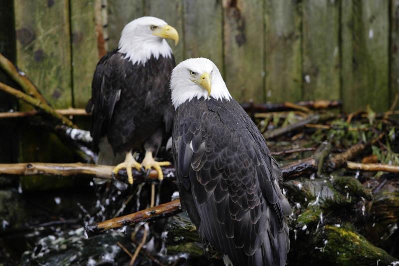 Ketchikan,  ward of the eagles