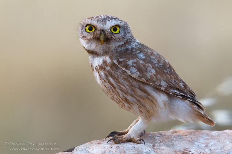 Little Owl (Athene noctua ssp lilith)