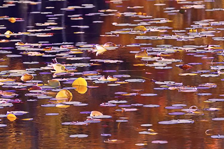 Lily Pads on Bass Lake