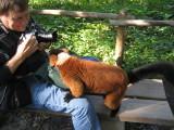 Red Ruffed Lemur at Apenheul