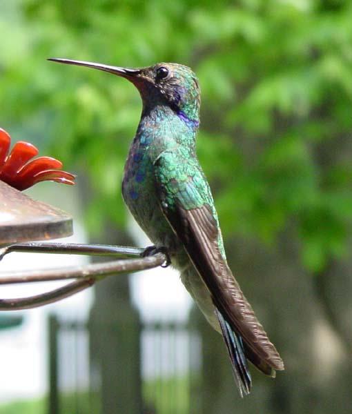 Green Violet-eared Hummingbird, Sunset, LA, May 2004
