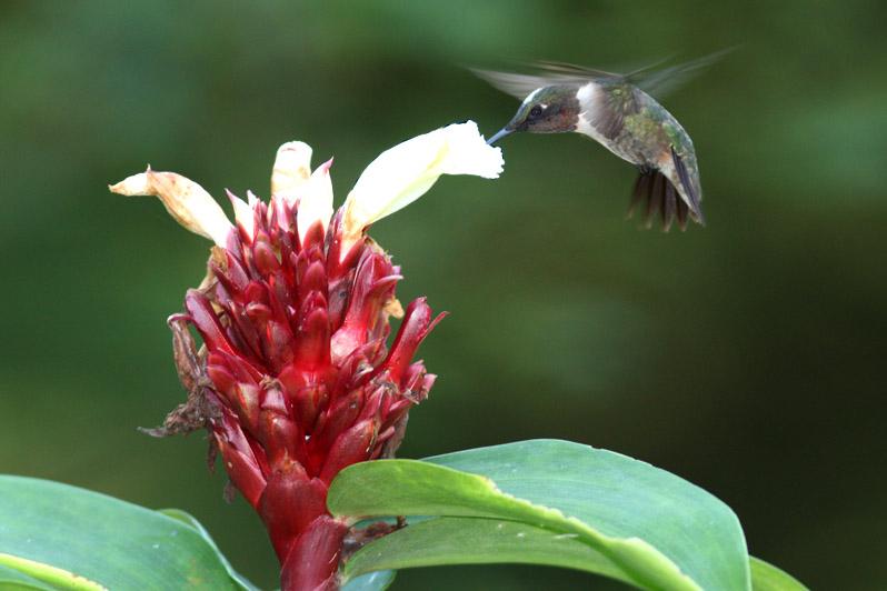 Ruby-throated Hummingbird, Milton, LA, Sept 2011