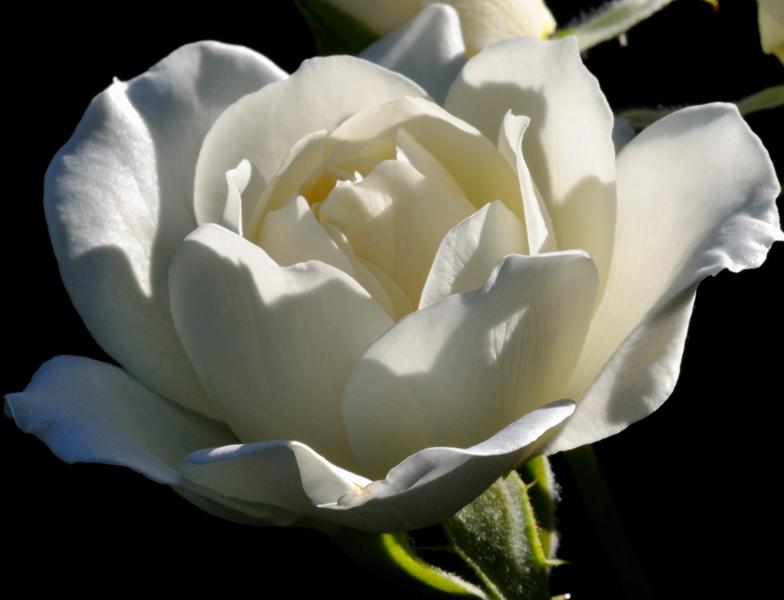 5064 White Rose