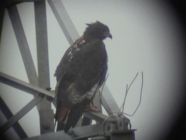 030106 jj Jackal buzzard Ladysmith-Underberg.jpg