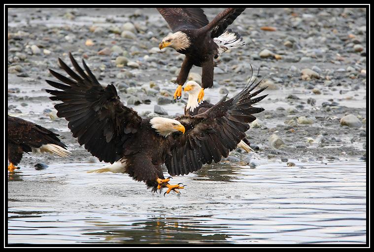 Bald eagles <div class=cr>&copy;  Liz Stanley</div>