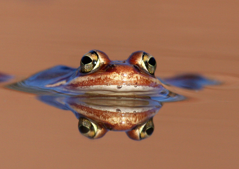 Wood Frog 7167