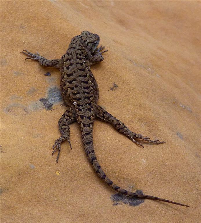 702 Mesa Verde Lizard.jpg