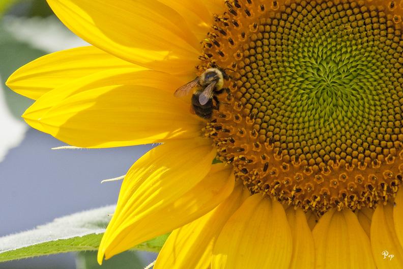 Sunflower & the bee II