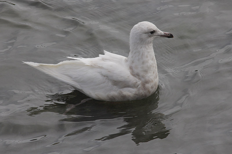 Iceland Gull - 1st summer