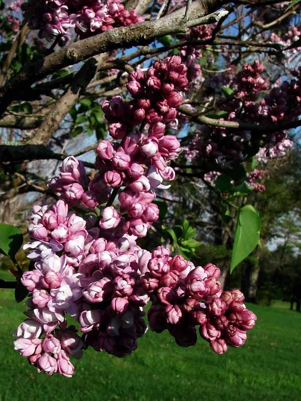 Lilac Upclose