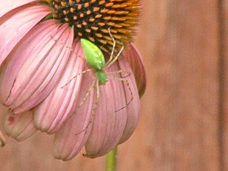 Green Bug on Coneflower