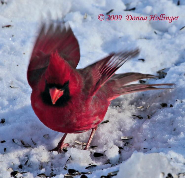 Cardinal Landing in Snow