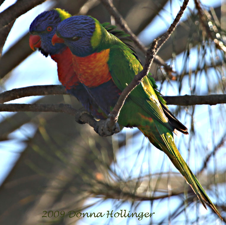 Two Rainbow Lorikeets