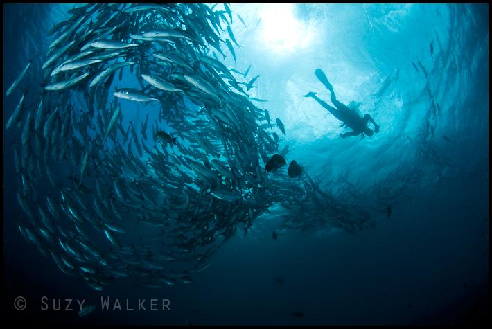 Schooling Jacks & Diver