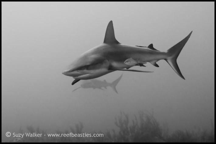 Reef sharks b/w