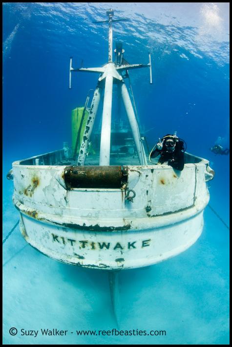 Kittewake