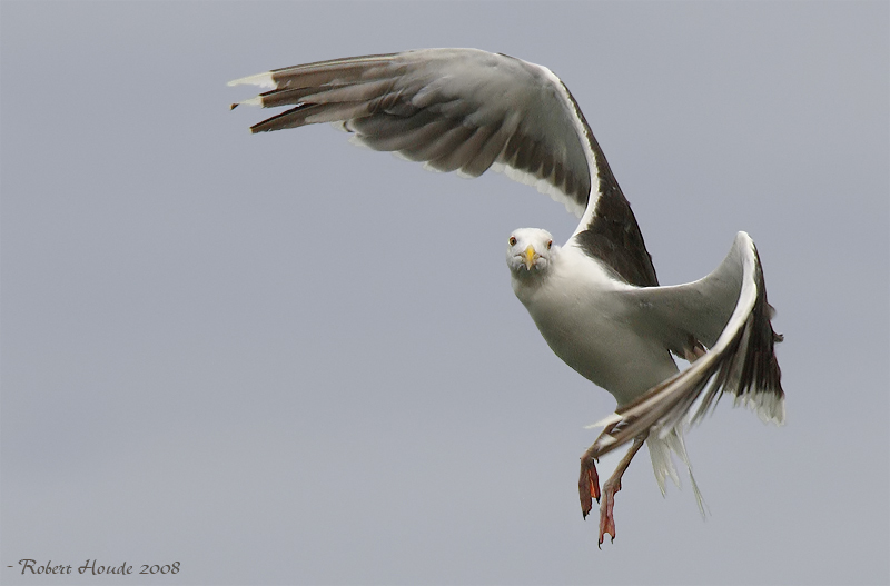 Goéland marin -- _E0K6906 -- Great Black-backed Gull