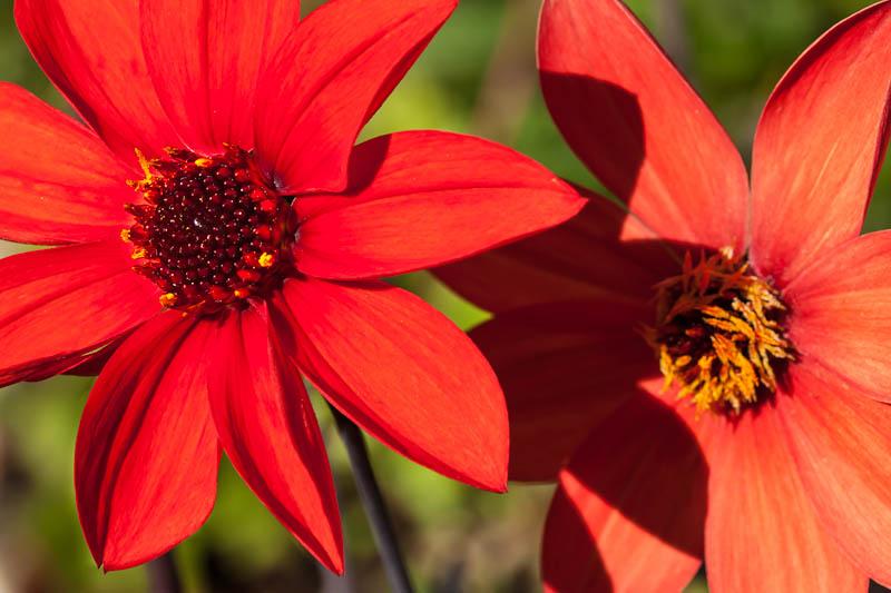 12-09 Dahlias-2.jpg