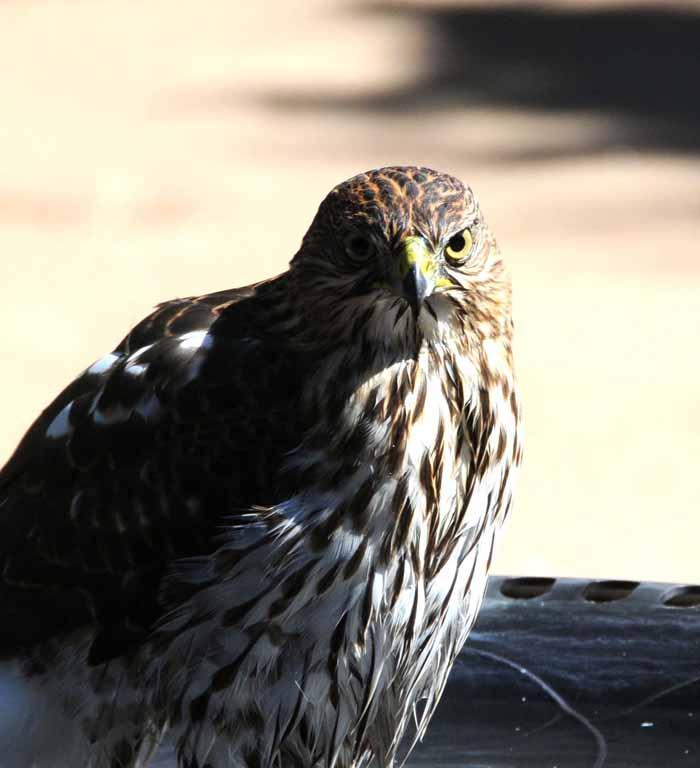 recently, a weekly visitor to a backyard bird bath
