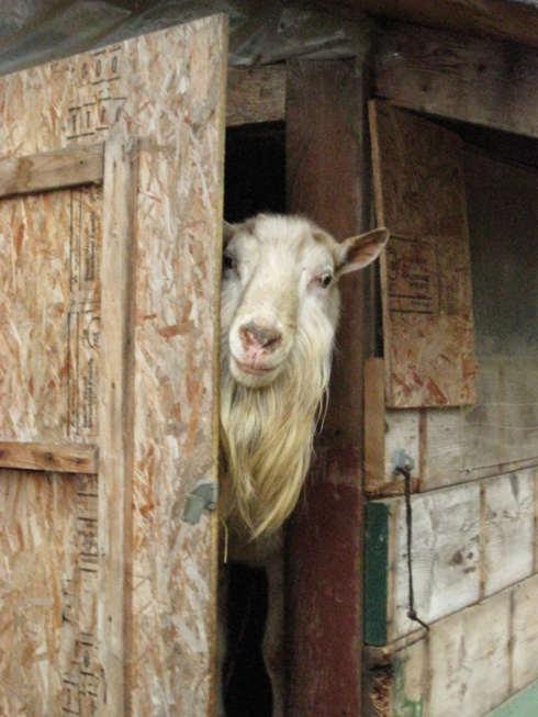 Goat Farm WhatYouWant.jpg