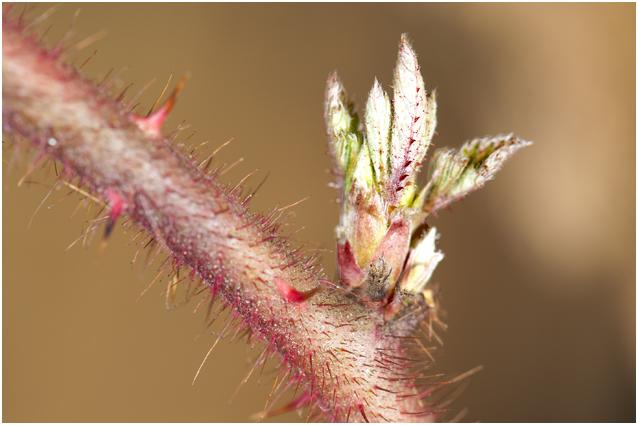 Japanse Wijnbes - Rubus phoenicolasius